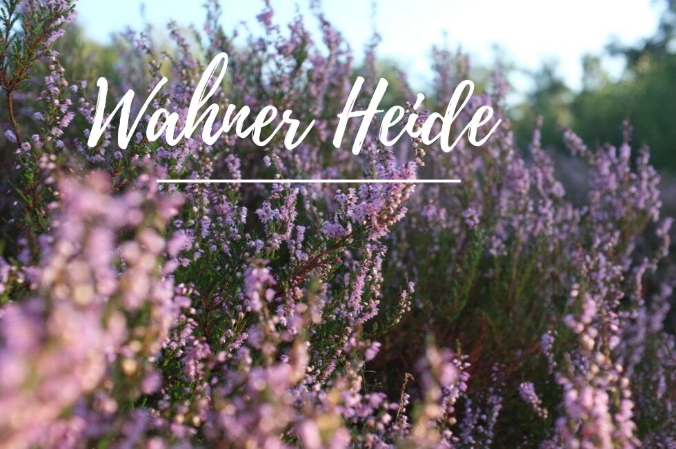 Wahner Heide Blütezeit – Heideblüte in der Wahner Heide